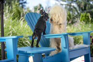 French Bulldog and Goldendoodle, face to face - ISF07576