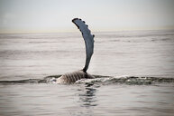 Humpback whale flipper on water surface, Provincetown, Massachusetts, USA - ISF07729