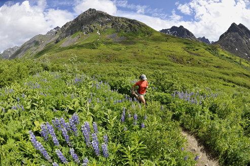 Woman running the Gold Mint Trail amongst mountain lupins, Talkeetna Mountains near Hatcher Pass, Alaska, USA - ISF08010