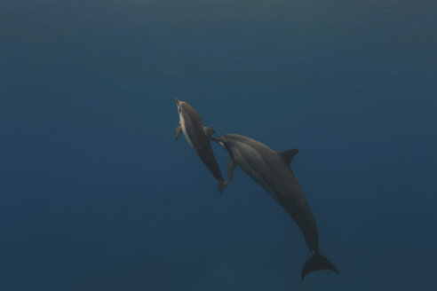 Mother and young dolphin swimming in sea - ISF08770