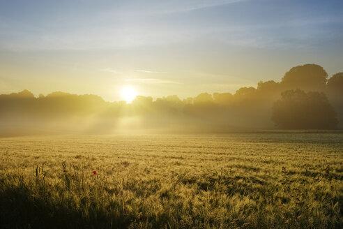Germany, Bavaria, Swabia, Tussenhausen, Grain field and morning fog at sunrise, Augsburg Western Woods Nature Park - SIEF07790