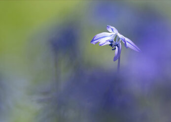 Blossom of Squill - BSTF00124
