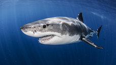 Great white shark - ISF09044