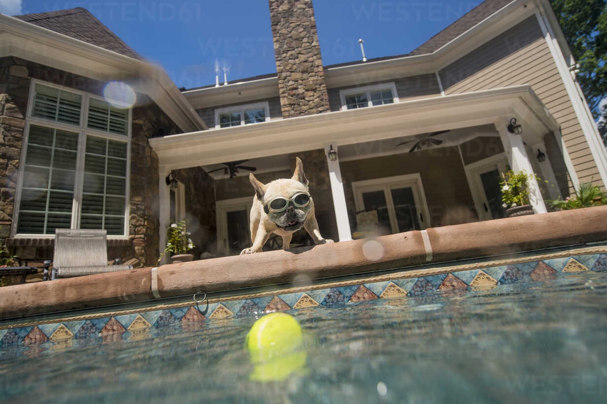 Dog Wearing Goggles Looking Into Pool House In Background Berkeley Heights New Jersey Usa Isf09187 Kathy
