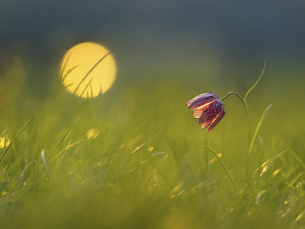 Snake's Head Fritillary on a meadow at morning light - BSTF00126