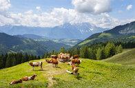 Austria, Salzburg State, Tennengau, Sankt Koloman, cows - WWF04230