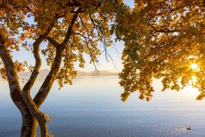 Germany, Bavaria, Chiemsee, tree with autumn leaves against evening sun - MMAF00382