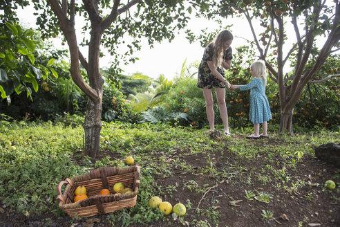 Young woman handing freshly picked orange to toddler daughter in garden - CUF26632
