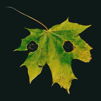 Maple leaf, Acer pseudoplatanus, autumn colours - TCF05476
