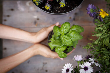 High angle view of hands holding basil plant - CUF28230