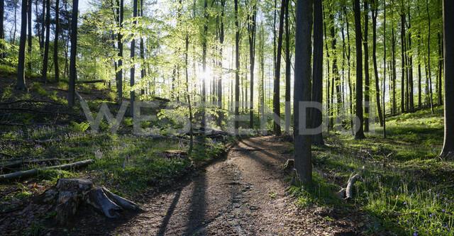 Hallerbos forest, Halle, Vlaams-Brabant, Belgium - CUF28268 - Mischa Keijser/Westend61