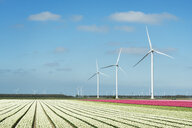Rows of white and pink flower blooms and wind turbines, Zeewolde, Flevoland, Netherlands - CUF28304
