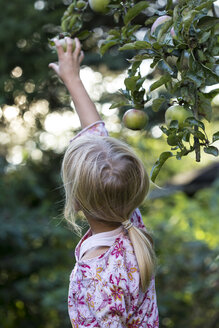 Back view of girl picking apple from tree - JFEF00879