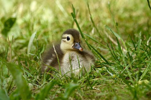 Mandarin duck, chick - JTF01015