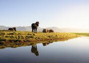 Icelandic horses on riverside, Hofn, Iceland - CUF28857