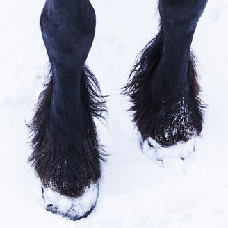 Frisian horse in winter, hoof - TCF05481
