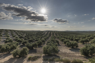 Spain, plantation of olive trees in spring against the sun - JASF01890