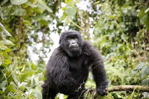 Africa, Democratic Republic of Congo, Mountain gorilla in jungle - REAF00285