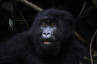 Africa, Democratic Republic of Congo, Mountain gorilla in jungle - REAF00288