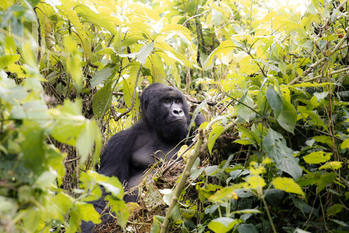 Africa, Democratic Republic of Congo, Mountain gorilla in jungle - REAF00291