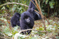 Africa, Democratic Republic of Congo, Young mountain gorillas playing in jungle - REAF00297