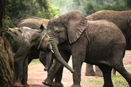 Uganda, Kigezi National Park, Young elephants playing together - REAF00315