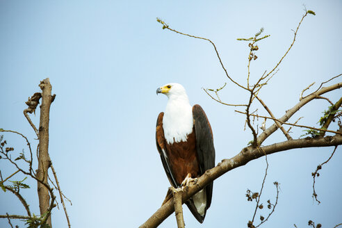 Uganda, Kigezi National Park, Bald eagle perching on branch - REAF00318