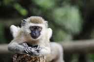 Uganda, Kigezi National Park, Vervet monkey - REAF00321