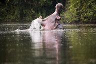 Uganda, Lake Victoria, Hippopotamus in lake with open mouth - REAF00327