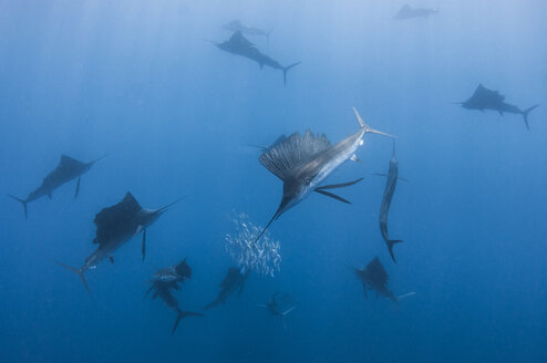 Underwater view of group of sailfish corralling sardine shoal, Contoy Island, Quintana Roo, Mexico - CUF31372