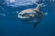 Underwater view of mola mola, ocean sunfish, Magadalena bay, Baja California, Mexico - CUF31375