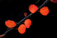 Detail of autumn leaves on twig - CVF00832