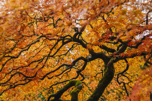 Low angle view of Japanese maple with orange autumn leaves - ISF10341