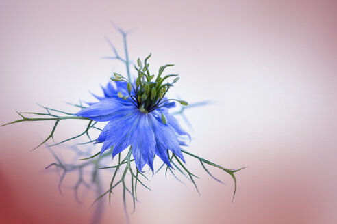 Love-in-a-mist - BSTF00136