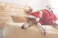 Greyhound lying on bed wearing red pullover and Santa hat - SKCF00508