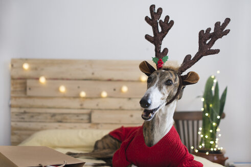 Portrait of Greyhound wearing pullover and deer antler at Christmas time - SKCF00511