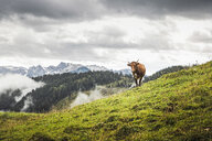 Lone cow and distant mountains, Archensee, Tyrol, Austria - CUF32483