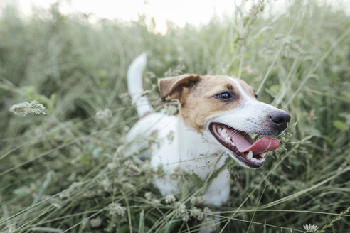 Portrait of Jack Russel Terrier on a meadow - KMKF00360