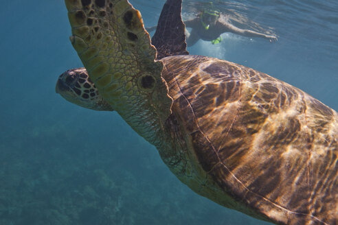 Sea turtle, woman snorkelling in background - ISF10832