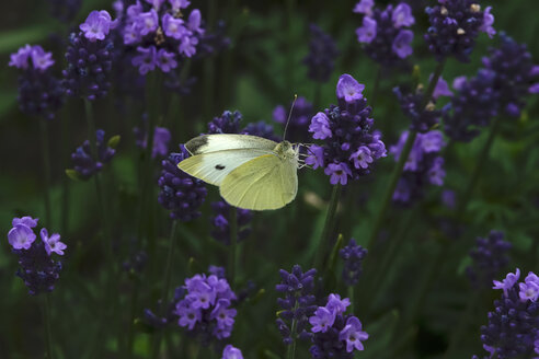 Cabbage butterfly on purple blossom - JTF01017