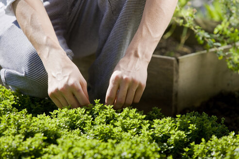 Cook pulling off herbs from plant - CVF00850