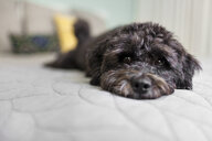 Portrait of dog lying on bed - ISF12925