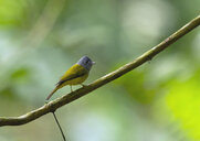 Thailand, Chiang Dao, Grey-headed canary-flycatcher, Culicicapa ceylonensis - ZC00631