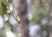 Thick-billed warbler, Arundinax aedon - ZC00637