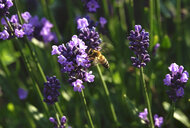 Germany, lavender and honeybee - JTF01021