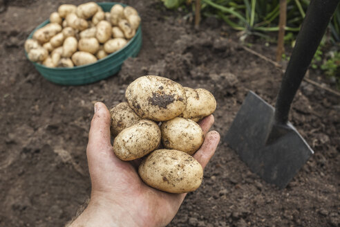 Mature man holding potatoes harvested from garden - CUF33946