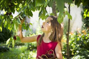Portrait of little girl picking cherries - LVF07138