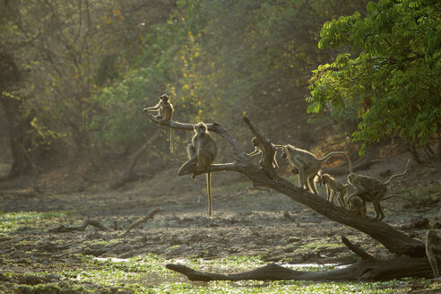 Baboons - Papio cynocephalus ursinus - CUF35814
