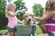 Labrador Retriever puppy in bucket shaking bath water at sisters - CUF36866