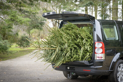 Large christmas tree in open boot of car - CUF37301